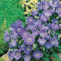 Campanula carpatica Blue AGM Seeds
