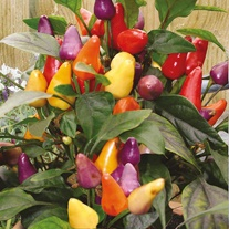 Chilli Pepper Razzamatazz Seeds
