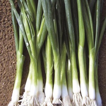 Onion (Spring) Green Banner Seeds