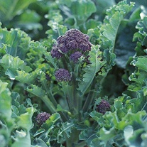 Broccoli (Sprouting) Claret F1 Seeds