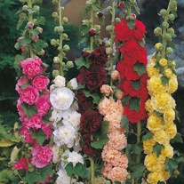 Hollyhock Chaters Double Mixed Seeds