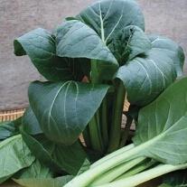 Komatsuna Japanese Spinach Te-suto F1