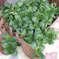 Salad Leaves Lambs Lettuce Valentin