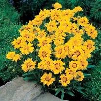 Coreopsis Rising Sun Flower Seeds