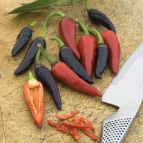 Pepper (Hot) Gusto Purple F1