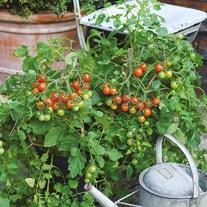Tomato (Cherry) Losetto F1 Seeds