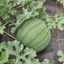 Watermelon Fascino F1 Seeds