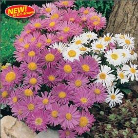 Aster (Perennial) alpinus Trimix Flower Seeds