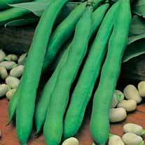 Broad Bean Giant Exhibition Longpod AGM Seeds