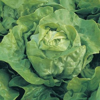 Lettuce Clarion AGM Seeds