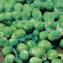 Brussels Sprout Montgomery F1 AGM Seeds