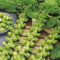 Brussels Sprout Napolean F1 Seeds