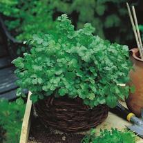 Get Growing Coriander - Cilantro for leaf