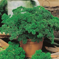 Get Growing Parsley Curled - Moss Curled 2