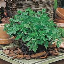 Get Growing Parsley Flat - Plain Leaved 2