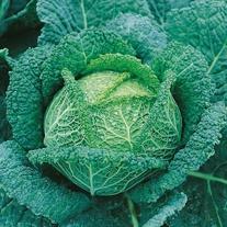 Get Growing Cabbage Savoy - Ormskirk