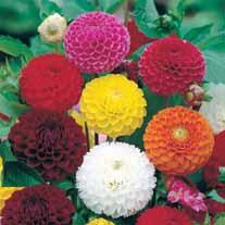 Dahlia Pompon Mixed Seeds