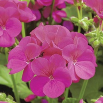 Geranium Apache Violet F1 Flower Seeds