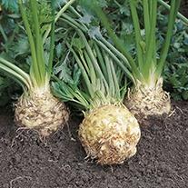 Celeriac Ilona F1 Veg Plants