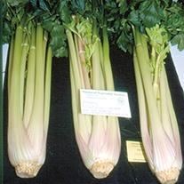 Celery Starburst F1 Veg Plants