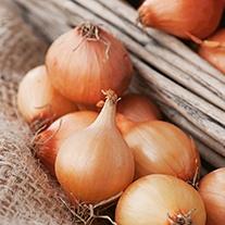 Onion Vento F1 Veg Plants