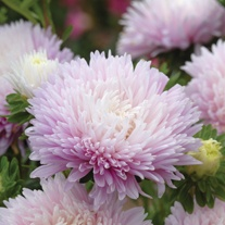 Aster Kingsize Appleblossom Seeds
