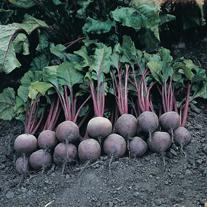 Beetroot Pablo F1 Seeds