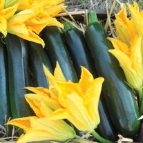 Courgette Best of British F1 Seeds