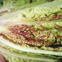 Lettuce TZ 7181 Seeds