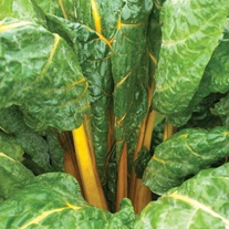 Chard Bright Yellow Seeds