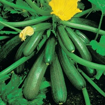 Courgette Tuscany F1 AGM Seeds