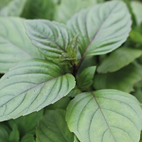 Basil Cinnamon Seeds