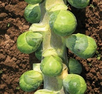 Brussels Sprout Bitesize F1 Seeds
