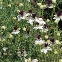 Love in a Mist African Bride Flower Seeds