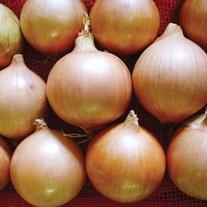 Onion Tasco F1 Veg Plants