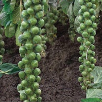 Brussels Sprout Braemar F1 Seeds