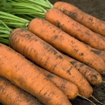 Carrot Belgrado F1 Seeds