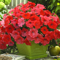 african sunset petunia plant for sale