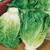 Get Growing Lettuce - Little Gem Seeds