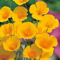 Californian Poppy Golden Values Flower Seeds