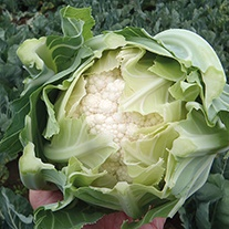 Cauliflower Fairway F1 Seeds