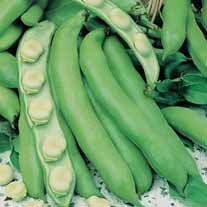 Broad Bean Bunyards Exhibition Seeds