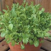 Salad Leaves Mixed Oriental Stir Fry Leaves