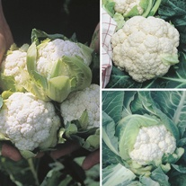 Cauliflower Season Long Cropping Seed Collection
