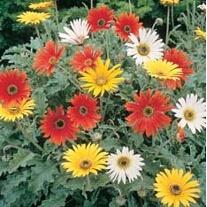 African Daisy New Hybrids Flower Seeds