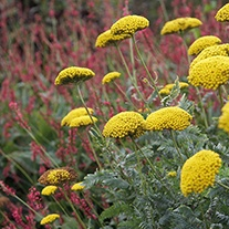 Achillea filipendulina 'Cloth of Gold' AGM