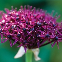 Allium atropurpureum Flower Bulbs