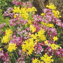 Allium Dwarf Mix Flower Bulbs