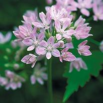 Allium unifolium AGM