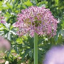 Allium cristophii AGM